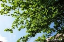 Tả cây bàng