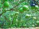 Tả cảnh vườn trái cây của một miệt vườn ở quê em