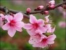 Tả hoa đào ngày Tết