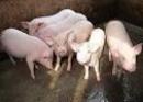 Hãy tả con lợn nhà em