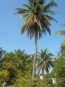 Tả cây dừa
