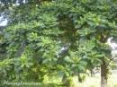 Tả một cây ở sân trường của em