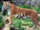 Tả con hổ trong vườn thú
