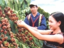Hãy trình bày các điều kiện tự nhiên và kinh tế - xã hội đối với sự phát triển cây cà phê ở Tây Nguyên. Nêu các khu vực chuyên canh cà phê và các biện pháp để có thể phát triển ổn định cây cà phê ở vùng này.