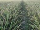 Nghề nông trồng lúa nước ra đời ở đâu và trong điều kiện nào?