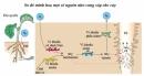 Dinh dưỡng nitơ ở thực vật(tiếp)