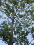 Tả cây xoan nơi vườn quê
