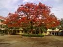 Tả cây phượng nơi sân trường