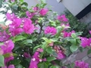 Tả cây hoa giấy