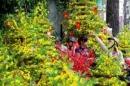 Tả cảnh chợ hoa mai ngày Tết
