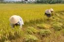 Tả bác nông dân gặt lúa