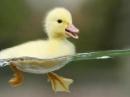 Em hãy tả một con vịt đang kiếm mồi ở trong ao (hồ hoặc đầm)