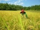 Bài 2 - Tả cánh đồng lúa quê em vào một buổi sáng đẹp trời