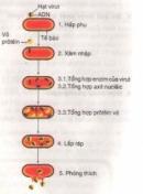 Chu trình nhân lên của virut
