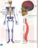 Các phần chính của bộ xương