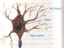 Cấu tạo và chức năng của noron