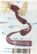 Lý thuyết bài cấu tạo và tính chất của cơ