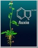 Hoocmôn thực vật
