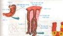 Lý thuyết bài tiêu hóa ở dạ dày