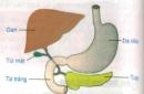 Lý thuyết bài tiêu hóa ở ruột non