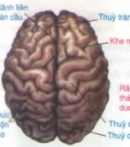 Lý thuyết bài đại não