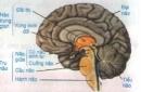 Lý thuyết bài trụ não, tiểu não, não trung gian