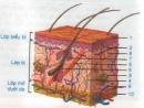 Lý thuyết bài cấu tạo và chức năng của da