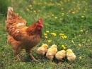 Tả một con gà mái dẫn dàn gà con đi kiếm mồi