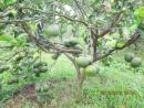 Nhà em có khu vườn trông nhiều loại cây. Giữa vườn, cây cam được chăm sóc tốt nên ra rất nhiều quả. Em hãy tả cây cam trĩu quả đó