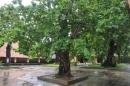 Ở trường em (hoặc gần nhà em) có một cây tán lá sum suê. Em hãy tả cây đó