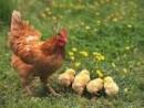 Lập dàn ý chi tiết tả một vật nuôi trong nhà (gà, chim, chó, lợn, trâu, bò,...) (Bài 2)