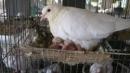 Trước cửa một chuồng chim bồ câu, chim mẹ vừa đi kiếm mồi về đang mớm cho con. Em hãy tả lại cảnh ấy