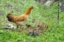 Em hãy tả một con gà mái dẫn đàn gà con đi kiếm mồi ra dáng một người mẹ chăm làm, luôn luôn bận bịu vì con. (Có thể nhân hoá cho mẹ con đàn gà trò chuyện với nhau trong khi kiếm ăn.)