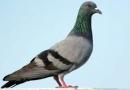 Dựa vào quan sát riêng của mình, em hãy viết một đoạn văn khác miêu tả hoạt động của chim bồ câu
