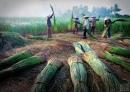 Miêu tả một loài cây và nói lên công dụng to lớn của nó để làm nguyên liệu ngành nghề thủ công ở vùng quê em