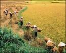 Tả cảnh mùa gặt ở quê em