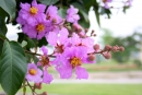 Bài đọc tham khảo Chim vành khuyên và cây bằng lăng