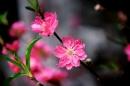 Thuyết minh về một loài hoa truyền thống của dân tộc Việt Nam (hoa đào)