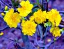 Thuyết minh về một loài hoa truyền thống của dân tộc Việt Nam ( hoa mai )