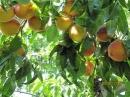 Thuyết minh về một số trái cây có hương vị thơm ngon trong vườn quê