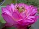 Giới thiệu một loại hoa đặc sản của một miền quê trên đất nước ta Sen bách diệp Hồ Tây