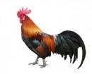 Thuyết minh về một giống vật nuôi (Con gà, con tằm)