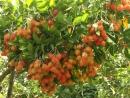Câu 2 trang 57 SGK Công Nghệ 9 - Trồng cây ăn quả