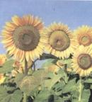 Theo bạn, vì sao những bông hoa ở hình 2 có tên là hoa hướng dương ?