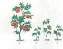 Các cây cà chua ở hình b, c, d thiếu chất khoáng gì? Kết quả ra sao?