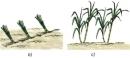 Người ta sử dụng phần nào của cây mía để trồng?