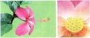 Hãy chỉ vào nhị (nhị đực) và nhụy (nhị cái) của hoa râm bụt và hoa sen