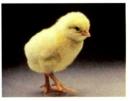 Bạn có nhận xét gì về những con chim non, gà con mới nở ?