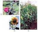 Trong các cây dưới đây, cây nào có hoa thụ phấn nhờ gió, cây nào có hoa thụ phấn nhờ côn trùng ?