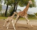 Tại sao khi hươu con mới khoảng 20 ngày tuổi, hươu mẹ đã dạy con tập chạy ?
